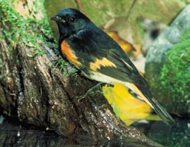 American Redstart - Paul M. Grist State Park
